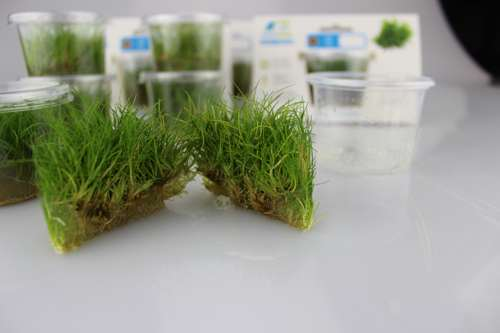Easy Grow Eleocharis acicularis
