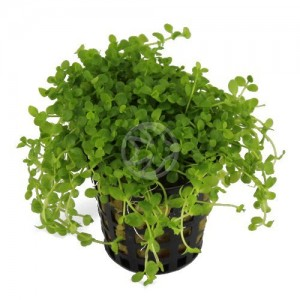 carpeting aquarium plant