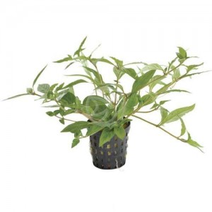 Carpeting Aquarium Plants