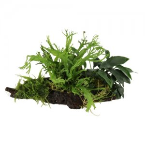 Anubias, Microsorum and Moss on Wood - NANO