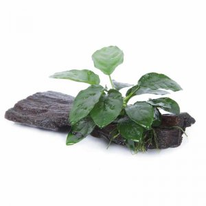 Anubias barteri var nana On Wood