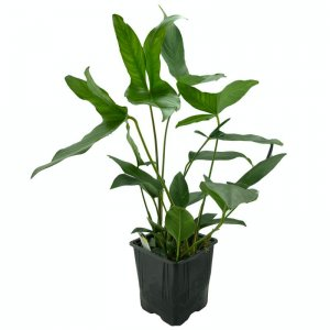 Anubias hastifolia XL Pot