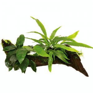 Anubias, Microsorum and Moss on Wood - Medium