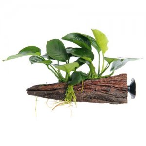 Anubias on Wood - Floating