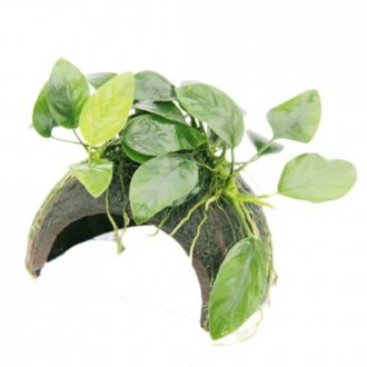 Anubias Coconut Hut