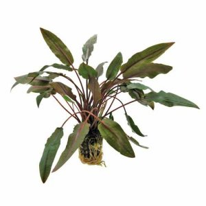 Cryptocoryne undulatus brown