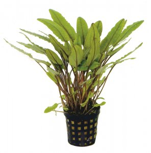 Cryptocoryne petchii