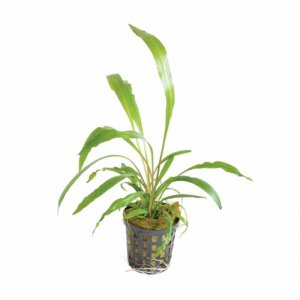 Cryptocoryne spiralis - grows up to 40cm