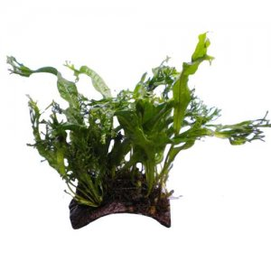 Java Fern Coconut Bridge - Mini