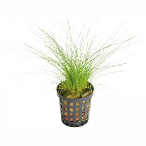 Eleocharis acicularis (dwarf hairgrass) - carpeting plant