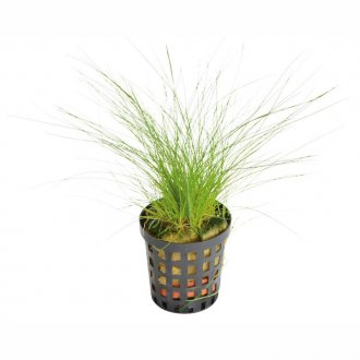 Eleocharis acicularis (dwarf hairgrass)