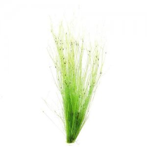 Eleocharis vivipara (umbrella hairgrass)