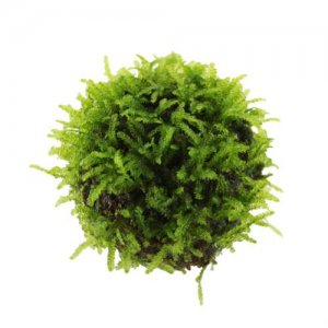 Floating Moss Ball