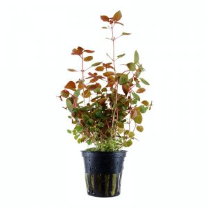 Ludwigia Mini Super Red