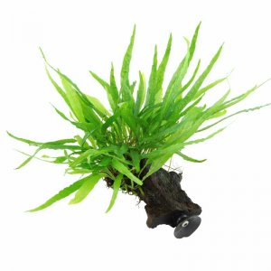Tropica Microsorum Narrow on Decor - Floating