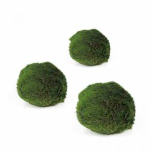Marimo moss ball - Chladoflora - Medium (1.5-2cm)