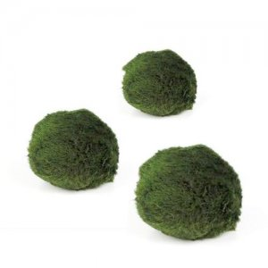 Marimo moss ball (Chladoflora) - Mini