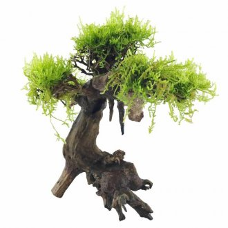 Bonsai Tree Driftwood - WITH LIVE MOSS - Medium
