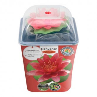 Pre-grown Water Lily - RED (Attraction)