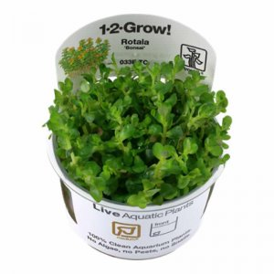Tropica Rotala indica 'bonsai' 1-2-GROW!