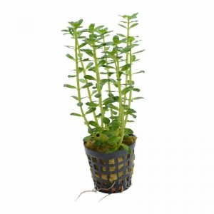 Rotala indica (Indian Toothcup)