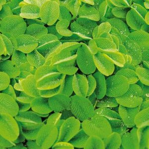 Salvinia natans Floating Plant Portion (Water spangles)