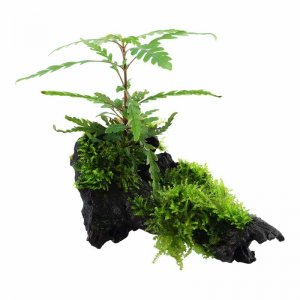 Hygrophila pinnatifida & Moss on Wood