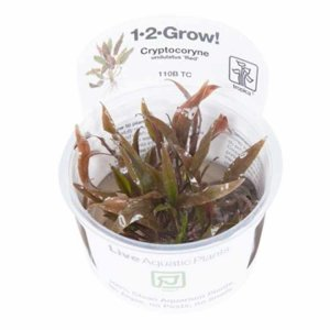 Tropica Cryptocoryne undulatus red 1-2-GROW!