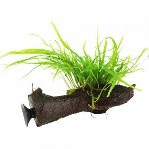 Tropica Microsorum Trident on Decor - Floating
