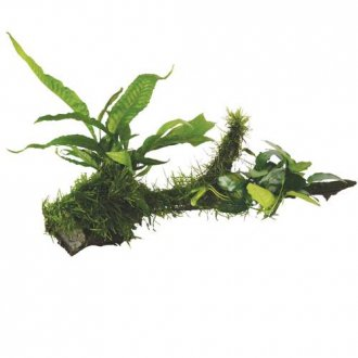 Anubias, Microsorum and Moss on Wood - Large