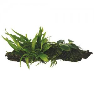 Anubias, Microsorum and Moss on Wood - Small