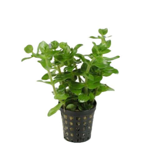 bacopa amplexicaulis giant bacopa p2020215. Black Bedroom Furniture Sets. Home Design Ideas