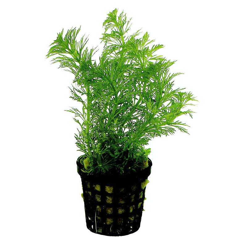 Limnophila heterophylla - fast growing! - Click Image to Close