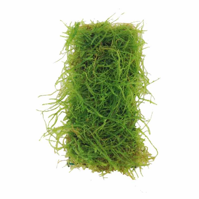Taxiphyllum barbieri (java moss) Scapers Pad - Medium - Click Image to Close