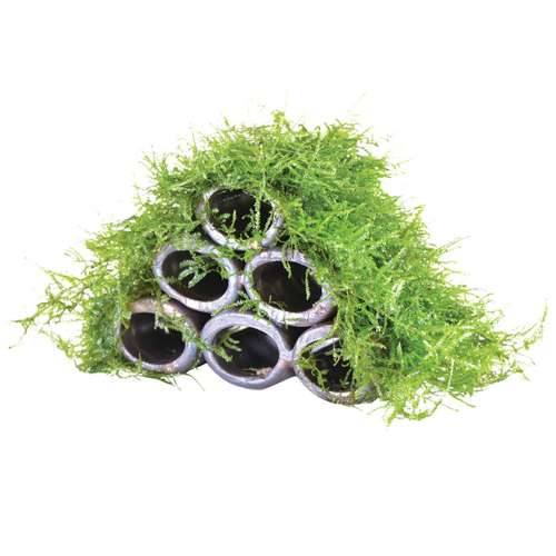 how to grow java moss in fish tank