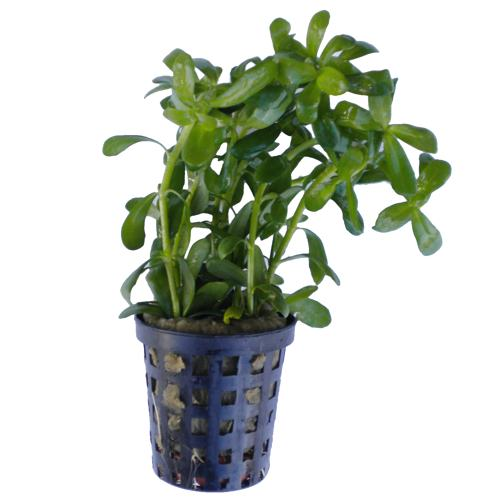 bacopa compacta buy aquarium plants accessories. Black Bedroom Furniture Sets. Home Design Ideas