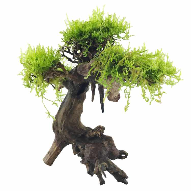 Bonsai Tree Driftwood   WITH LIVE MOSS