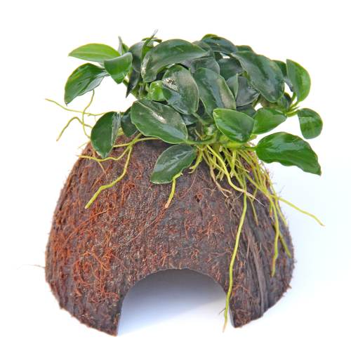 Anubias Bonsai Coconut Hut Nano 30087 Den 13 99 Tropical Aquarium Fish Tank Plants For Sale Co2 Sets Fertilisers And More Aqua Essentials The Planted Aquarium Specialists
